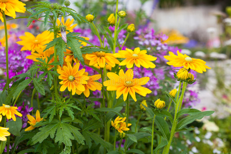 Beautiful flowerbed with yellow Rudbeckia flowers. Horizontal shot with a selective focus royalty free stock images