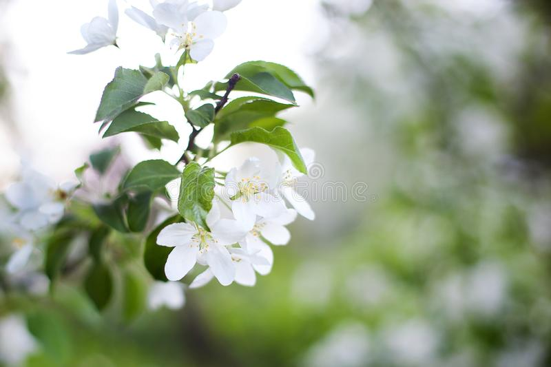Beautiful flowering apple tree branch. Spring Garden Blooming apple tree branch in spring. Cherry blossoms in spring close-up on g royalty free stock photo