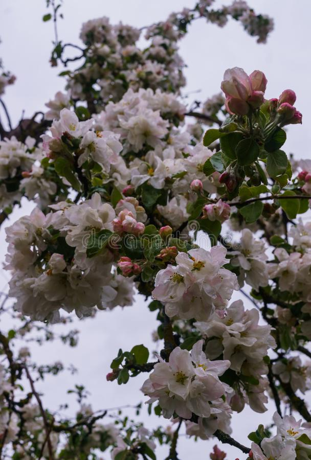 Beautiful flowering apple trees,background with blooming flowers in spring day,after the rain stock photography