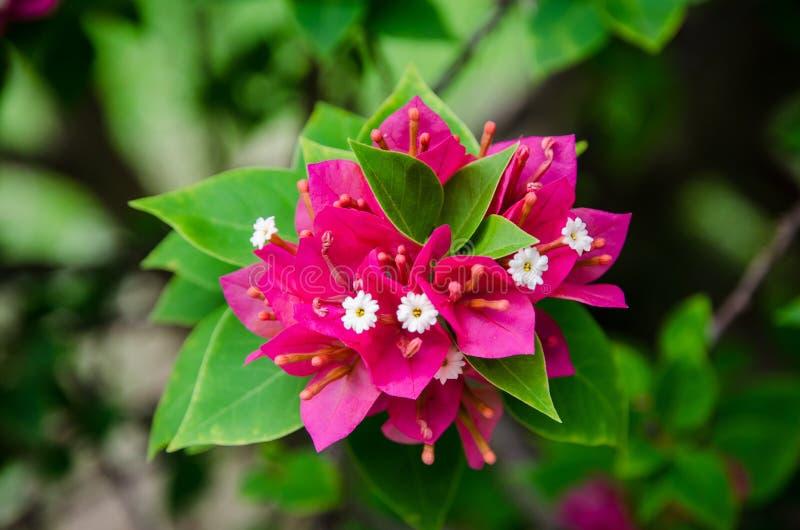 Beautiful flowering bougainvillea royalty free stock photo