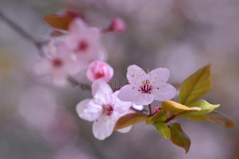 Beautiful flowering Japanese cherry Sakura. Season Background. Outdoor natural blurred background with flowering tree in spring su. Nny day stock images