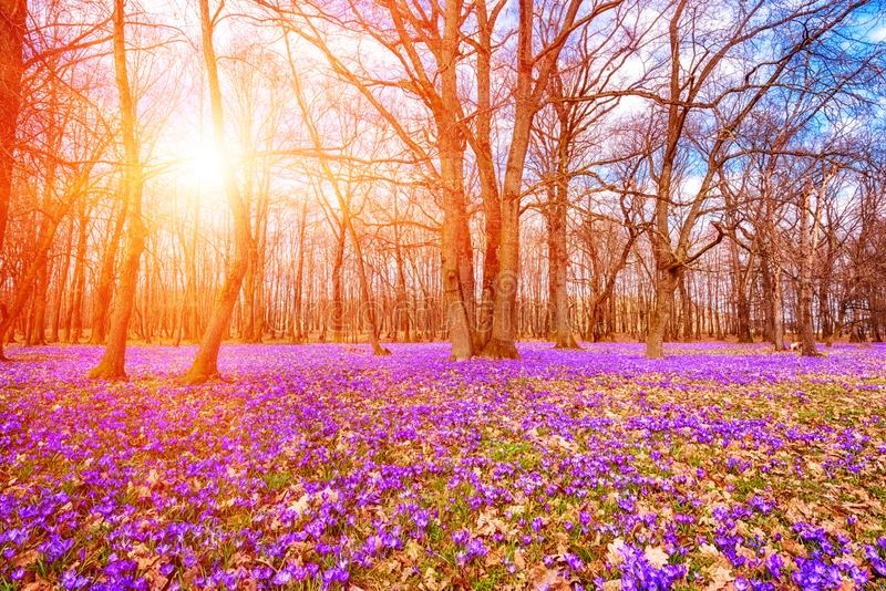 Flowering meadow with a purple crocus or saffron flowers in sunlight against an oak forest background, amazing sunny landscape stock photography