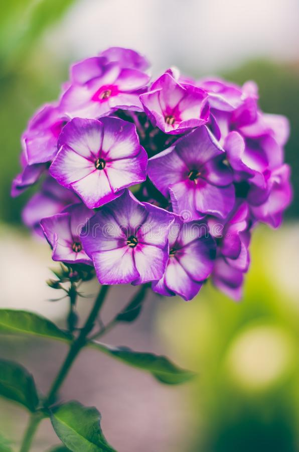 Phlox paniculata `Purple Eye Flame` royalty free stock photos