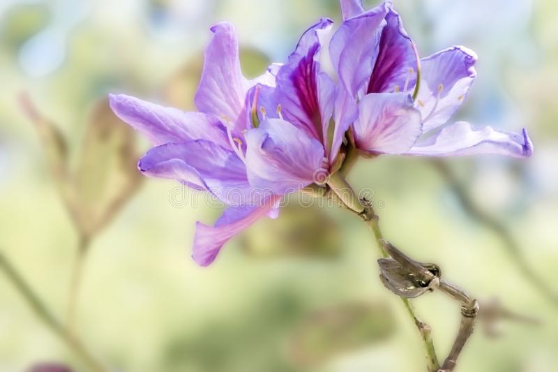 Beautiful flowering plant Bauhinia at springtime. Floral background royalty free stock image