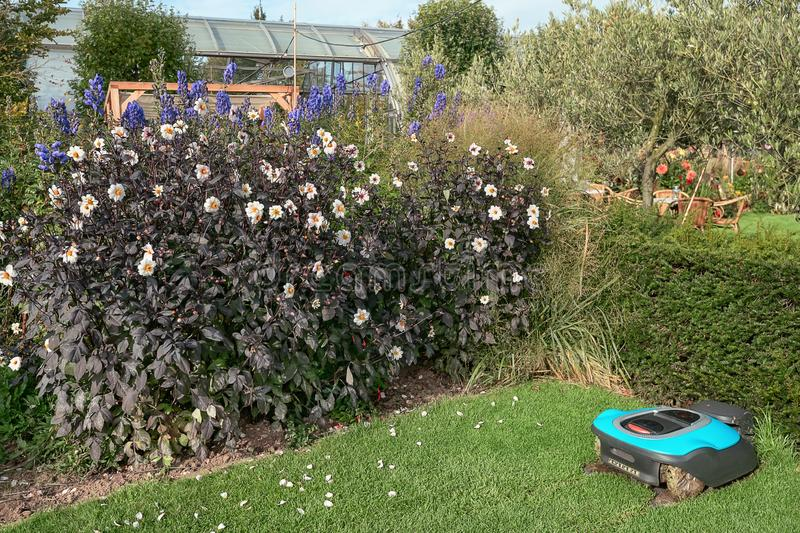 Beautiful flowering plants in a Dutch autumn garden while a robot mows the lawn royalty free stock image