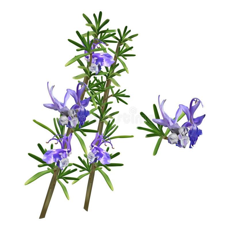 Beautiful Flowering Rosemary Herb Sprigs. Beautiful Flower Rosemary Herb Sprigs royalty free illustration