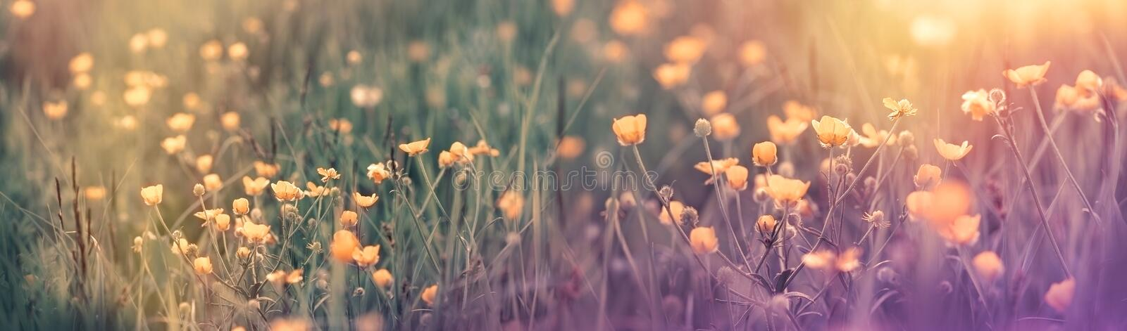 Beautiful flowering spring flower - buttercup flower in spring time stock photo