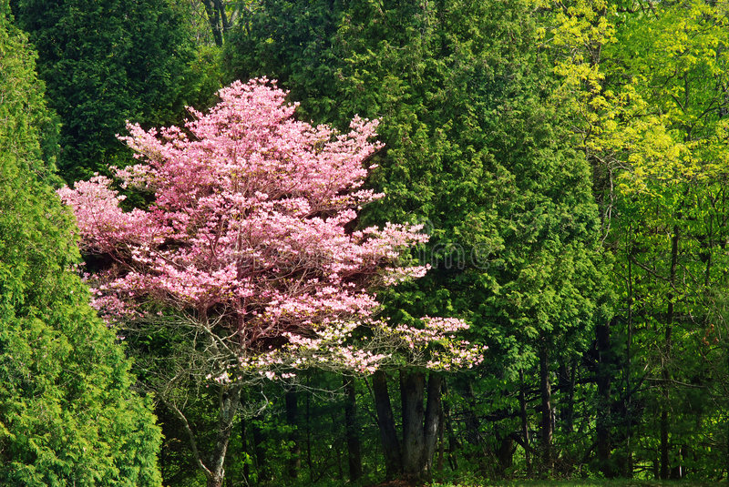 Beautiful flowering tree royalty free stock photography