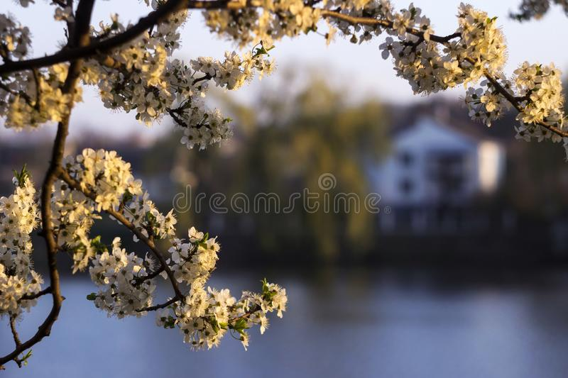 Beautiful flowering tree on the background of the lake, on the other side of the house. Spring concept, tree with white flowers.  royalty free stock photography