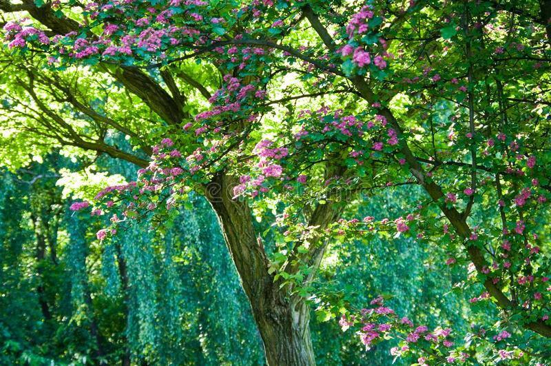 Flowering tree royalty free stock photography