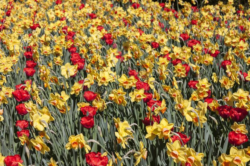 A beautiful flowering of yellow narcissus daffodils and red tulips in spring. A beautiful flowering of yellow narcissus and red tulips in spring, useful to royalty free stock image