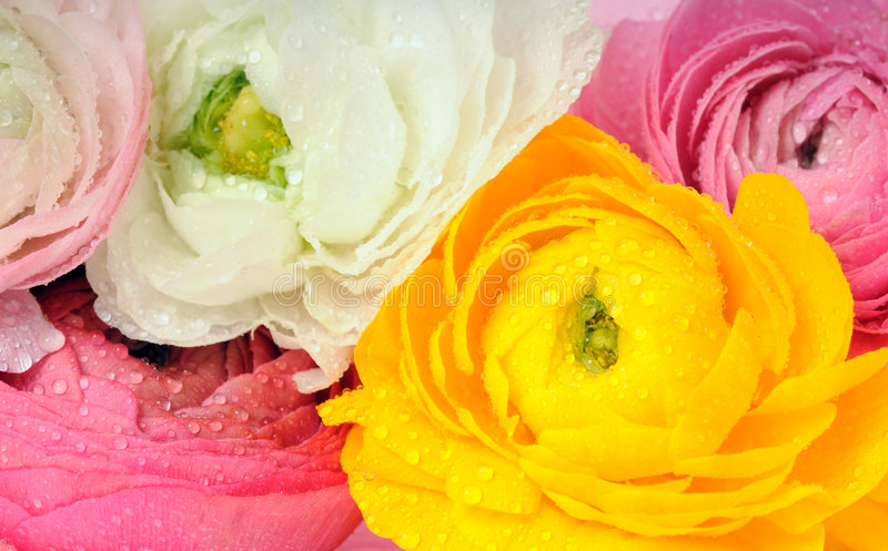 Beautiful flowers. Background of multi colored ranunculus royalty free stock images