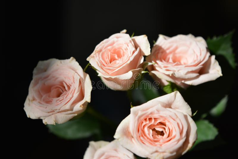 Elegant yellow pink small roses with green leaves, natural fresh chic rose pink cream color on black background. Beautiful flowers on a black background in the stock photos