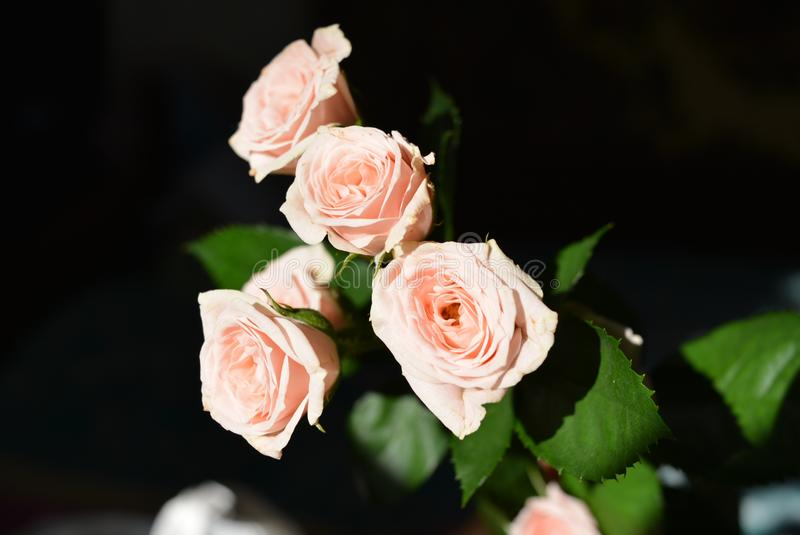 Elegant yellow pink small roses with green leaves, natural fresh chic rose pink cream color on black background. Beautiful flowers on a black background in the stock image