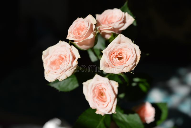 Elegant yellow pink small roses with green leaves, natural fresh chic rose pink cream color on black background. Beautiful flowers on a black background in the stock photo