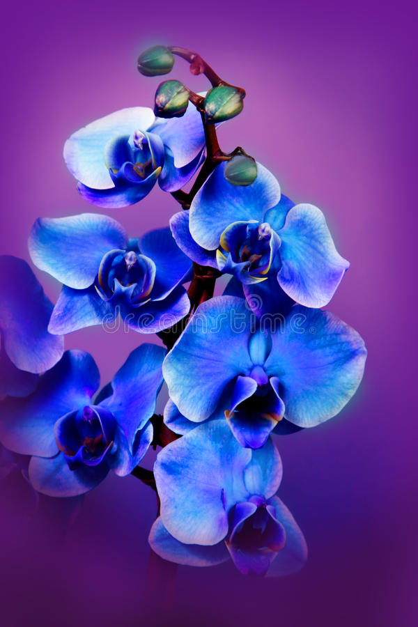 Beautiful flowers blue orhids royalty free stock photos
