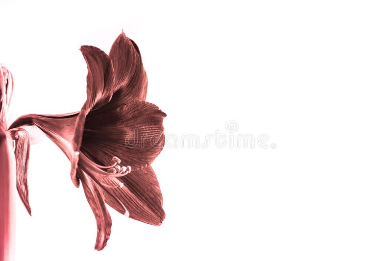 Beautiful flowers of the bulbous plant Hippeastrum. Living coral color flowers against the white background. Isolated hippeastrum. Inflorescence. Hippeastrum stock images