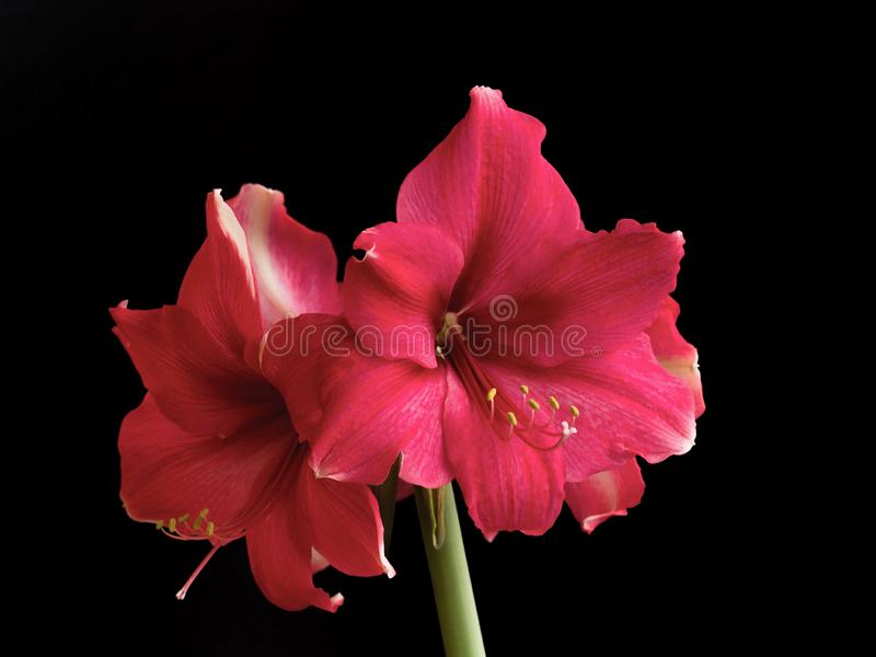 Beautiful flowers of the bulbous plant Hippeastrum. Pink flowers on a white background. Isolated hippeastrum inflorescence. Beautiful flowers of the bulbous stock photos