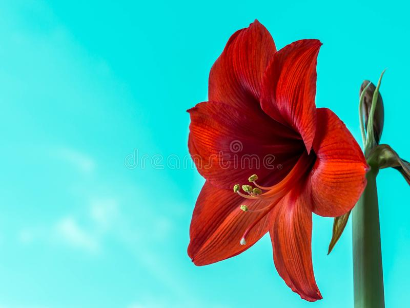 Beautiful flowers of the bulbous plant Hippeastrum. Red flowers against the blue sky background. Isolated hippeastrum. Inflorescence. Hippeastrum Lovely red stock image