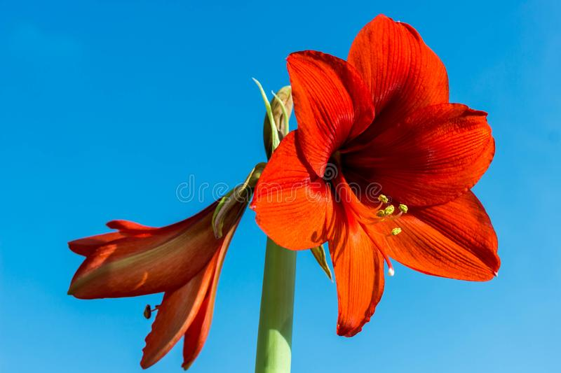 Beautiful flowers of the bulbous plant Hippeastrum. Red flowers against the blue sky background. Isolated hippeastrum. Inflorescence. Hippeastrum Lovely red royalty free stock photography
