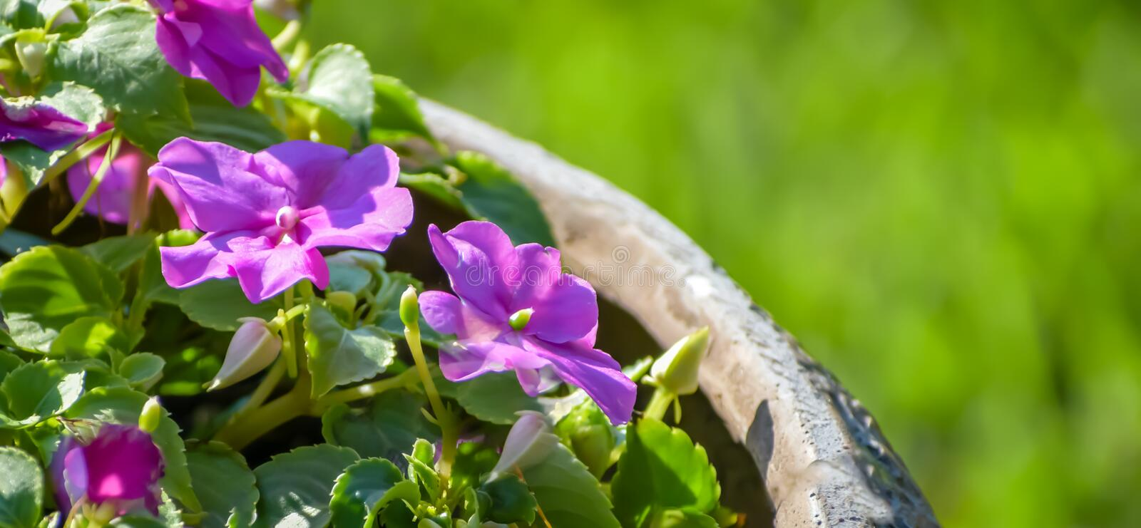 CLOSEUP CORNER BEAUTIFUL PURPLE FLOWERS IN CEMENT POT. Closeup of purple flowers and green leaves in a cement pot with a blurred green background royalty free stock image