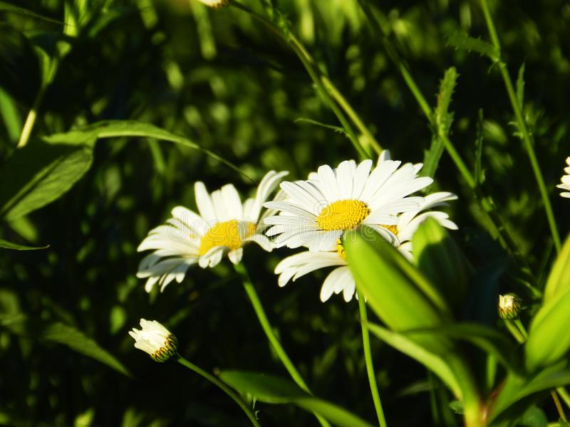 Daisies, flowers, nature, garden, field, outdoors, petals, beauty, beautiful, white, yellow. Beautiful flowers of chamomile in yellowish white flowers in the royalty free stock image