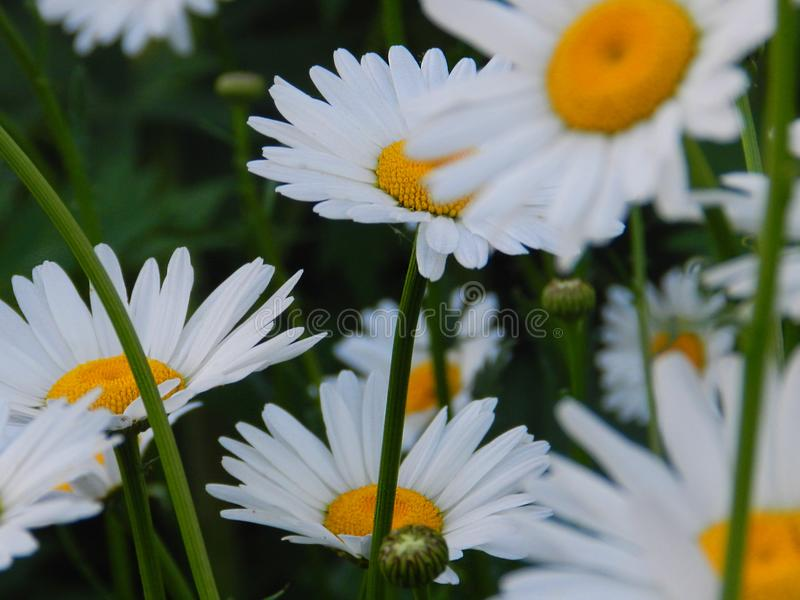Daisies, flowers, nature, garden, field, outdoors, petals, beauty, beautiful, white, yellow. Beautiful flowers of chamomile in yellowish white flowers in the stock photography