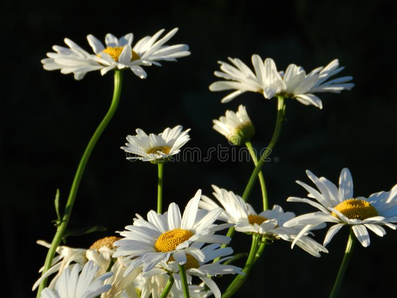 Daisies, flowers, nature, garden, field, outdoors, petals, beauty, beautiful, white, yellow. Beautiful flowers of chamomile in yellowish white flowers in the stock photos