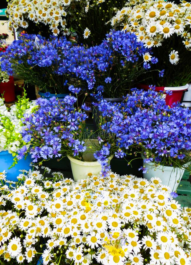 Beautiful flowers of cornflowers and chamomile in a huge bouquet royalty free stock photography