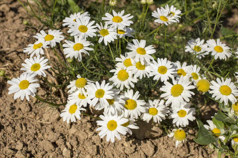 Beautiful flowers of daisy grows on the sand under the hot sun stock photography