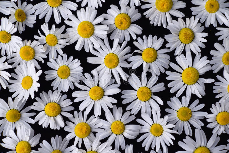Beautiful flowers Daisy lying on a black background. On the table royalty free stock photography