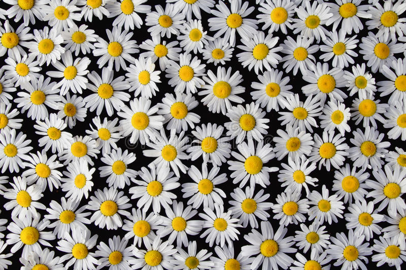 Beautiful flowers Daisy lying on a black background. On the table royalty free stock image