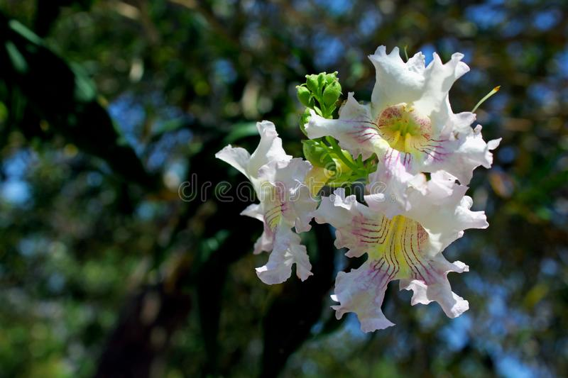 Desert Willow flowers, Coso Junction Rest Area, Freeway 395. The beautiful flowers of the Desert Willow at the Coso Junction Rest Area of Freeway 395 east of royalty free stock images