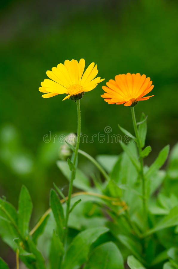 Beautiful flowers royalty free stock image