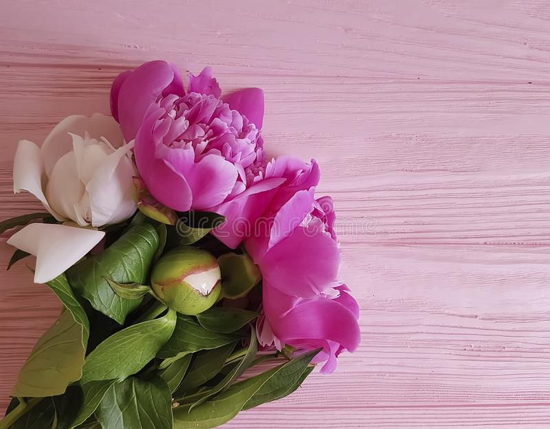Beautiful flowers fresh peonies on a pink wooden background, summer frame stock image