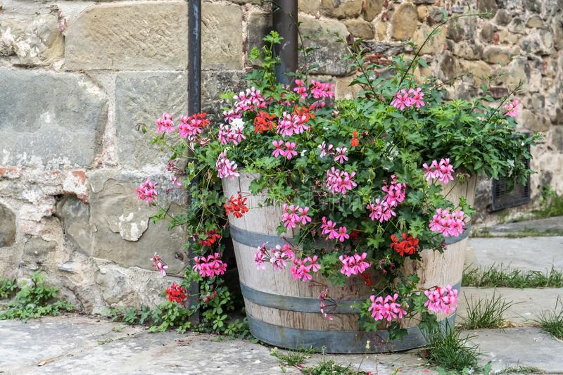 Beautiful flowers in front of stone wall in a small village of medieval origin. Toscana, Italy. Beautiful flowers in front of stone wall in a small village of royalty free stock photography