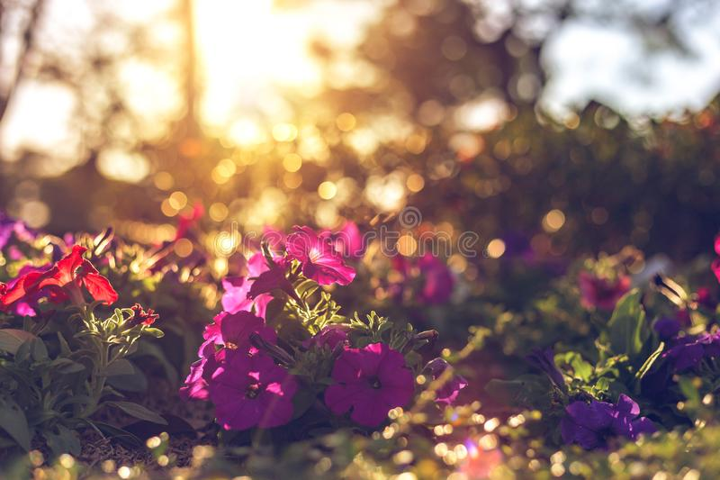 The beautiful flowers have pink color, red color, orange color and little bokeh between sunset. Beautiful flowers have pink color, red color, orange color and royalty free stock images