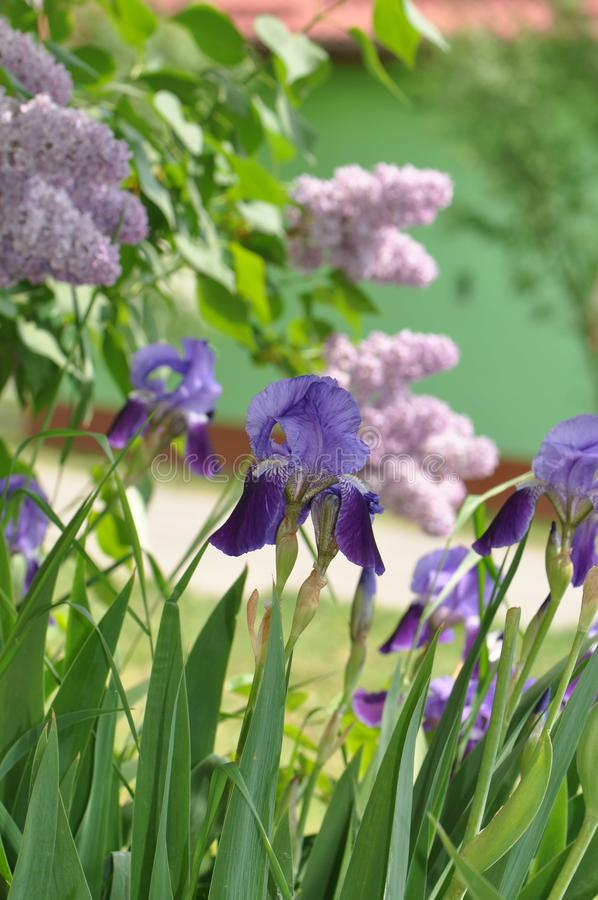 Iris. Beautiful flowers of iris. Beautiful irises on green background. Iris plant in garden bloom in spring stock photo