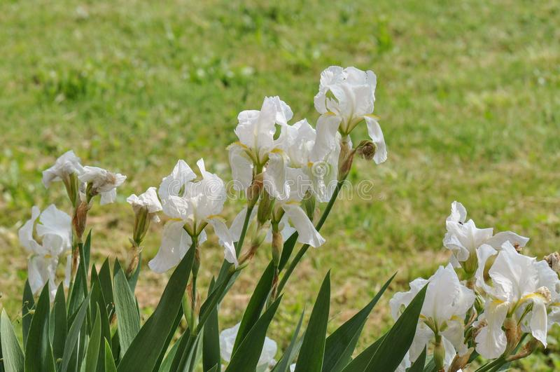 Iris. Beautiful flowers of iris. Beautiful irises on green background. Iris plant in garden bloom in spring royalty free stock photography