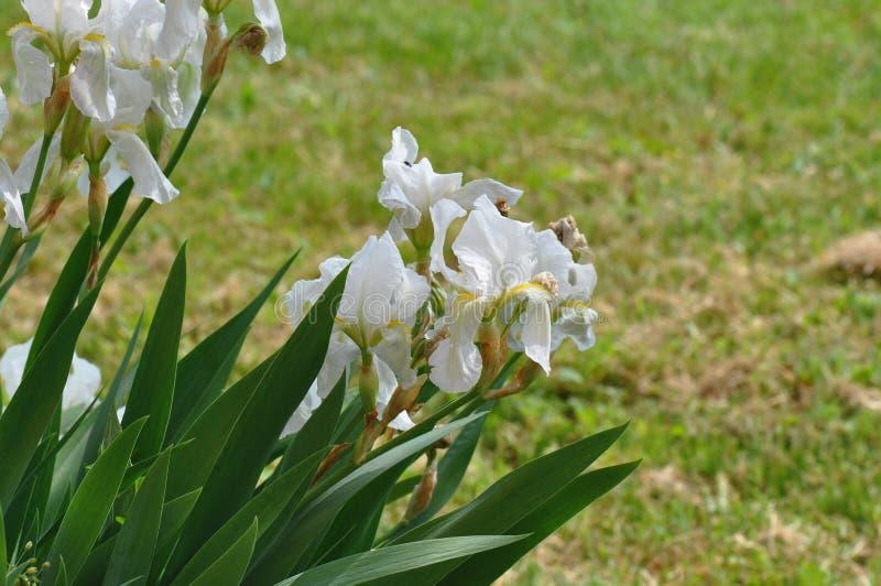 Iris. Beautiful flowers of iris. Beautiful irises on green background. Iris plant in garden bloom in spring stock image