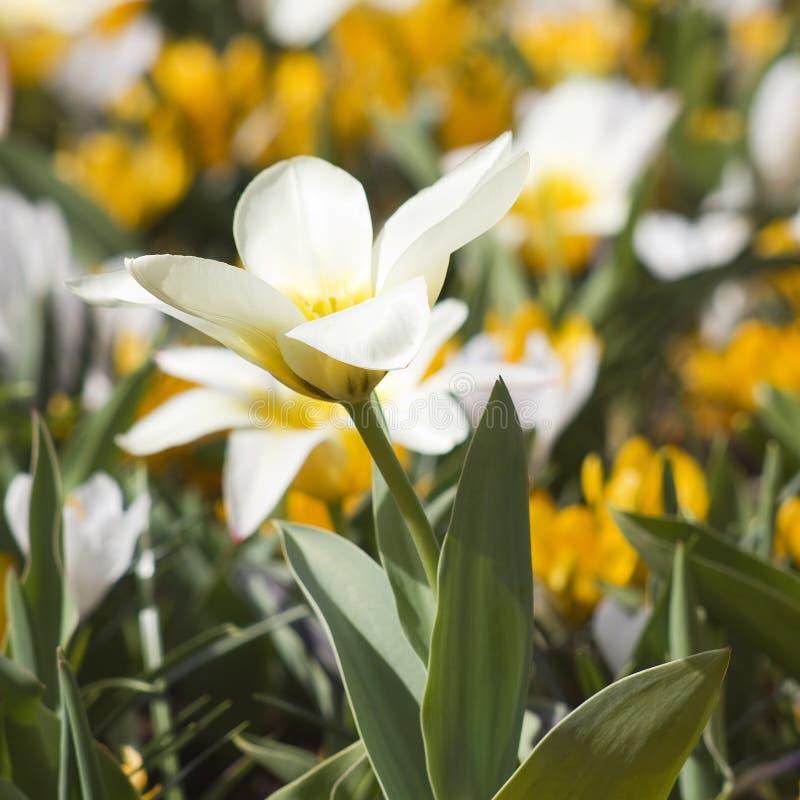 Beautiful flowers in Keukenhof Garden. Netherlands royalty free stock photos