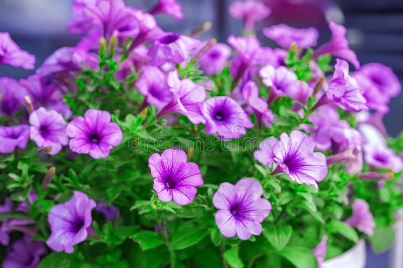 Beautiful flowers, lilac and pink. Grow on flower bed. Bright juicy colors, close-up. stock images
