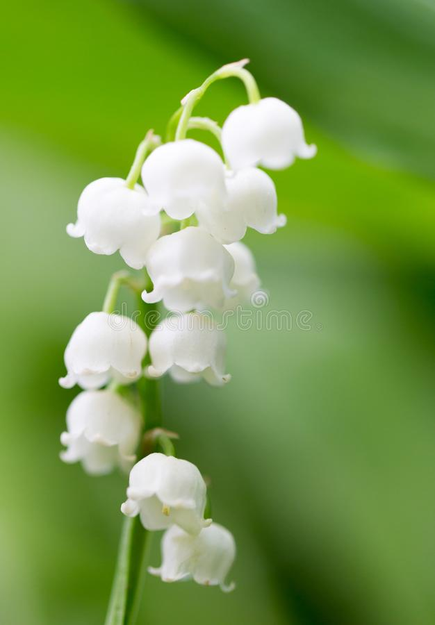 Beautiful flowers lily of the valley on the nature stock image