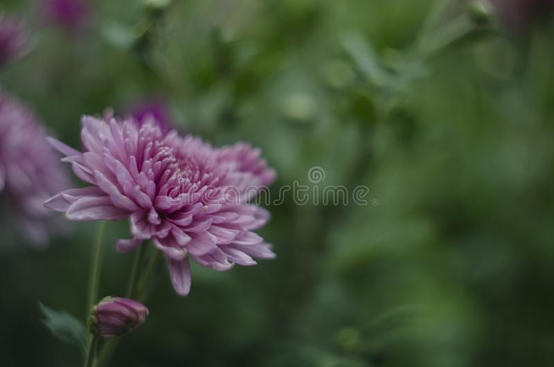 Beautiful flowers macro abstract art background with a soft focus. Pink and purple flowers chrysanthemum in nature on stock image