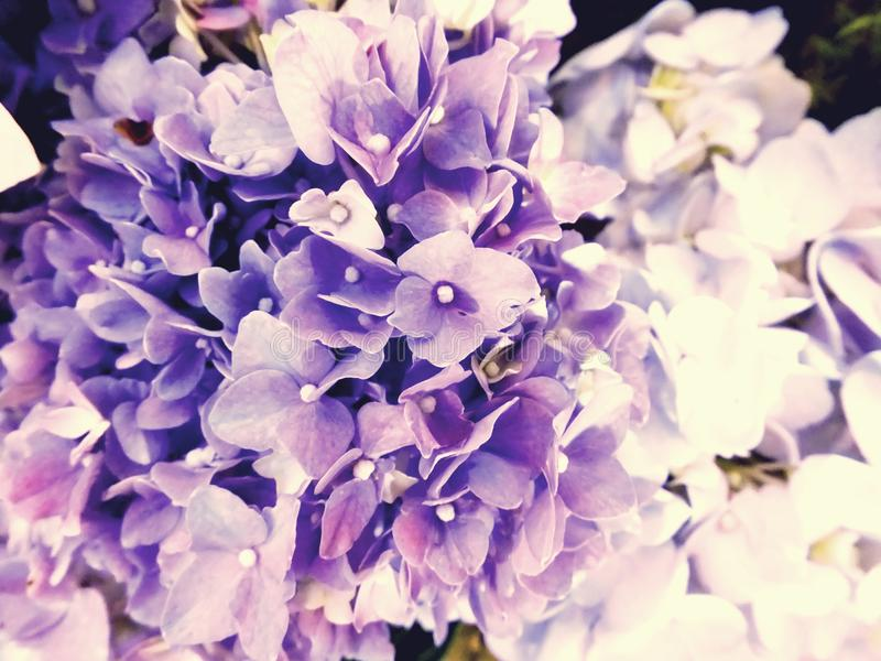 Beautiful flowers made with color filters. Beautiful flowers hydrangea made with color filters royalty free stock image