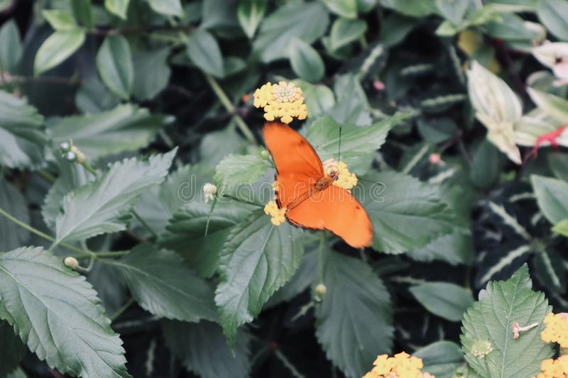 Beautiful white orange red and black butterfly on yellow flower purple close up background royalty free stock photos