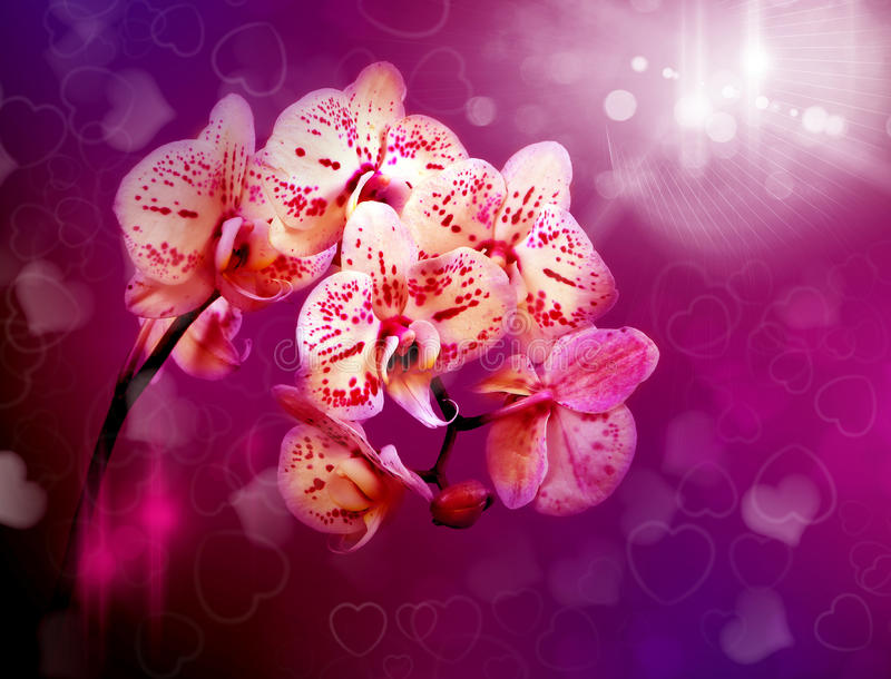 Beautiful flowers pink orchids in misty light stock images