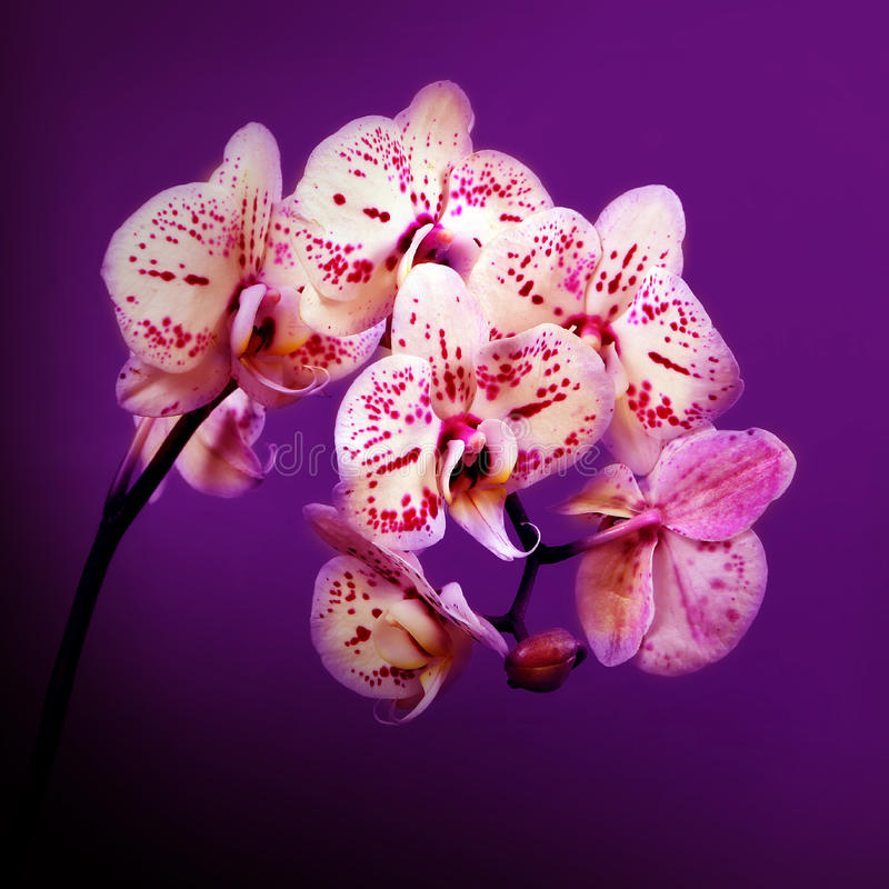 Beautiful flowers pink orchids on violet background stock photos