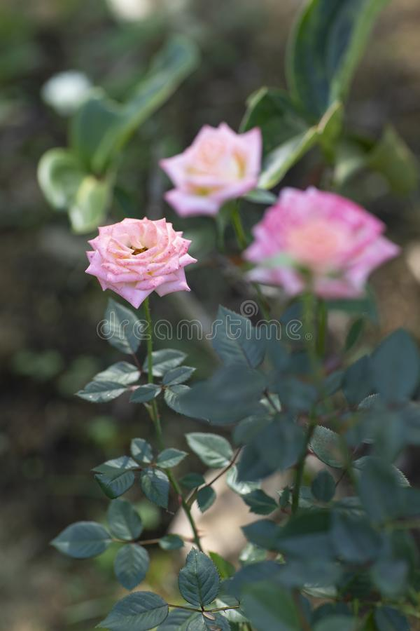 Beautiful flowers, pink roses in the garden stock photography