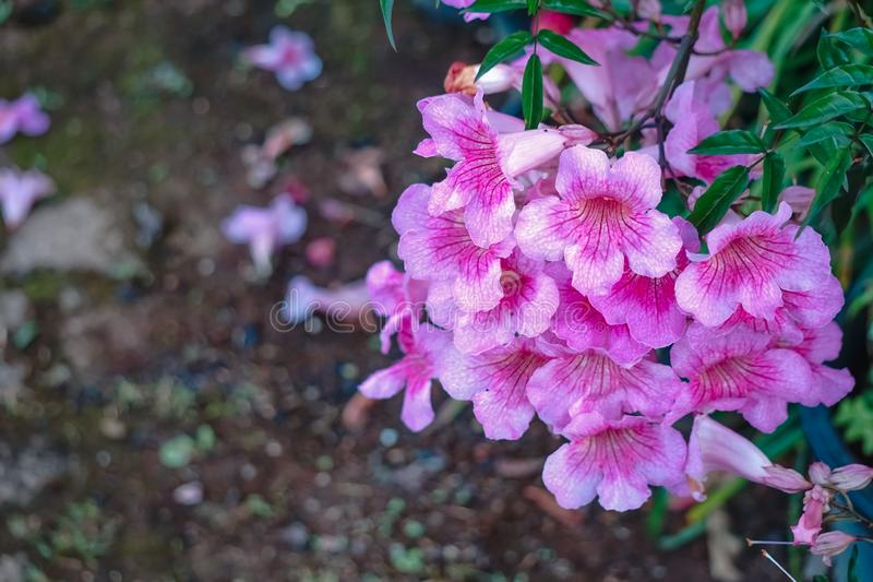 Beautiful flowers of Pink Trumpet vine stock images